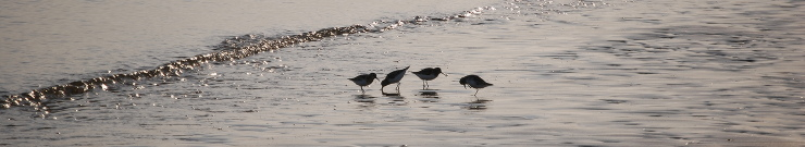 Oyster catchers catching up on the latest gossip